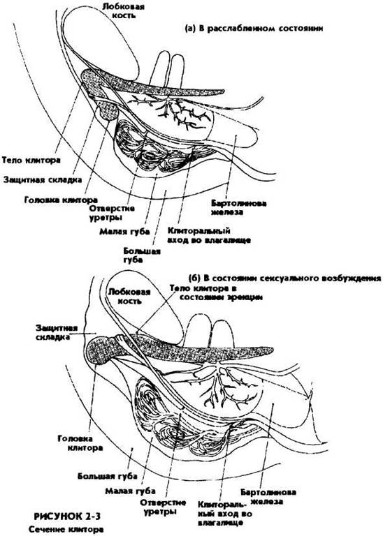 klitor-i-lobkovaya-kost
